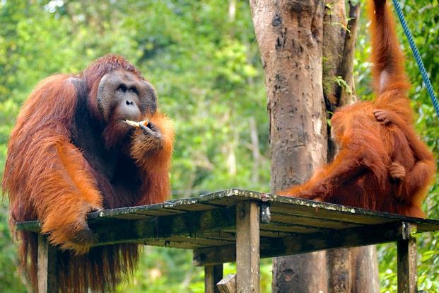 Semenggoh Wildlife Centre Half Day Trip from Kuching