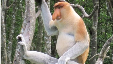 Sepilok Orang Utan, Labuk Bay Proboscis Monkey and Bornean Sunbear Conservation Centre Full Day Wildlife Tour in Sandakan