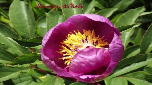 Montejunto Rose, Cadaval