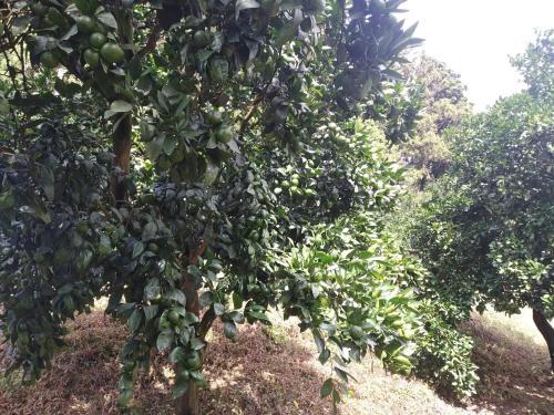 mandarinis da fexoias bagi, Ozurgeti