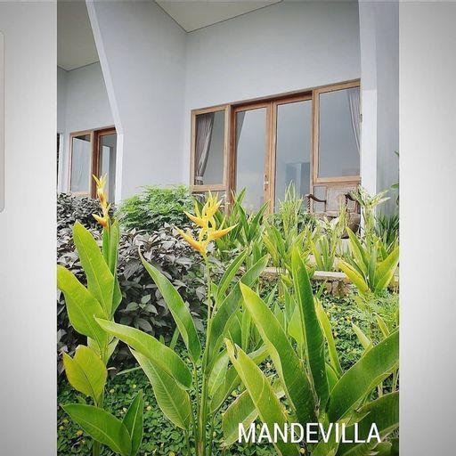Mandevilla, Bandung